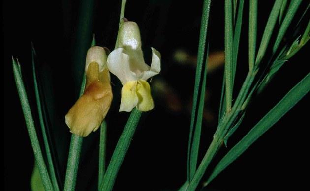 <b>Ungarische Platterbse - <i>Lathyrus pannonicus</i></b>