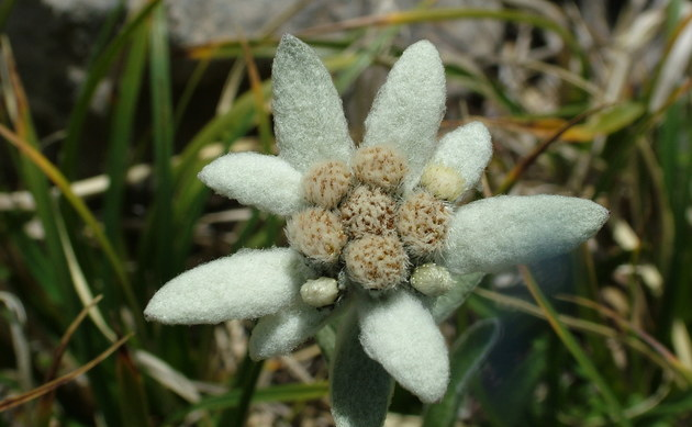 <b>Edelweiß - <i>Leontopodium alpinum</i></b>