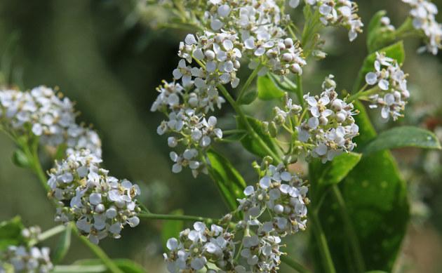 <b>Pfefferkraut - <i>Lepidium latifolium</i></b>