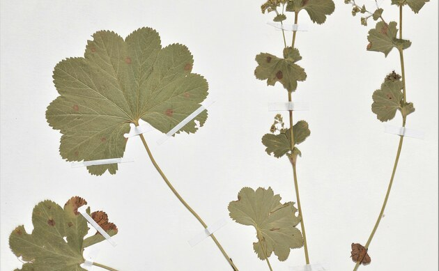 <b>Ledriger Frauenmantel - <i>Alchemilla coriacea</i></b>