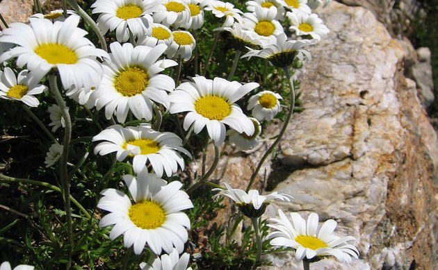 <b>Alpen-Margerite - <i>Leucanthemopsis alpina</i></b>
