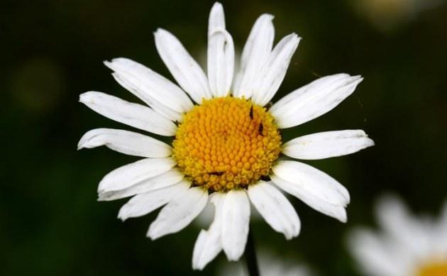 <b>Fettwiesen-Margerite - <i>Chrysanthemum ircutianum</i></b>