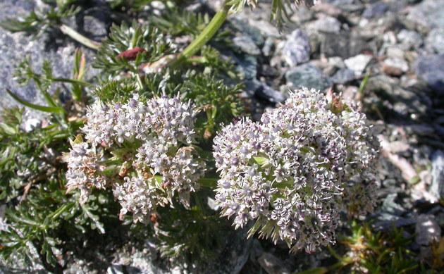 <b>Kleine Mutterwurz - <i>Ligusticum mutellinoides</i></b>