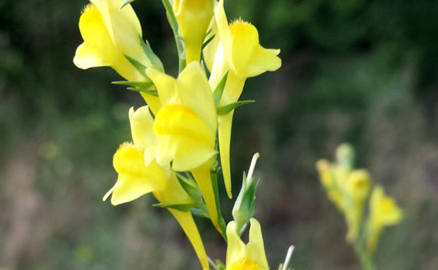 <b>Ginster-Leinkraut - <i>Linaria genistifolia</i></b>