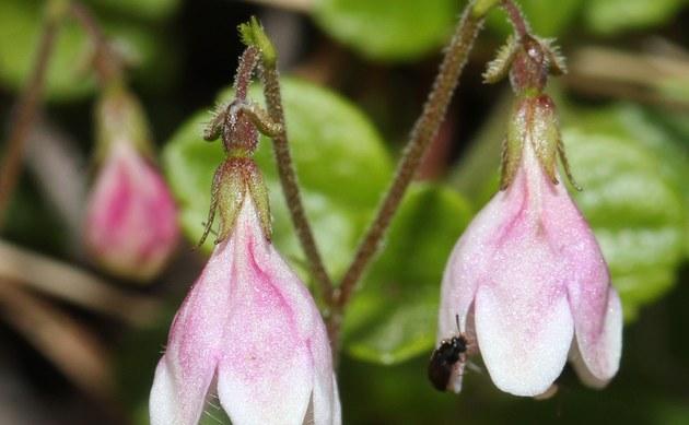 <b>Moosglöckchen - <i>Linnaea borealis</i></b>