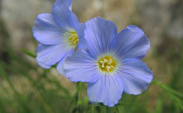 <b>Alpen-Lein - <i>Linum alpinum</i></b>