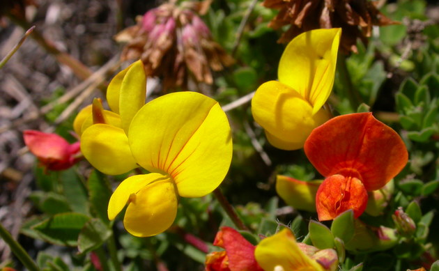 <b>Alpen-Hornklee - <i>Lotus alpinus</i></b>