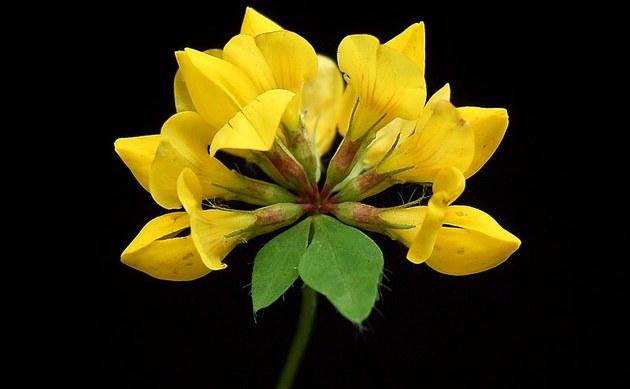 <b>Sumpf-Hornklee - <i>Lotus uliginosus</i></b>