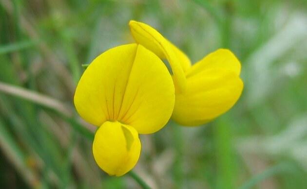 <b>Salz-Hornklee - <i>Lotus tenuis</i></b>