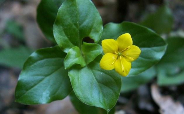 <b>Hain-Gilbweiderich - <i>Lysimachia nemorum</i></b>