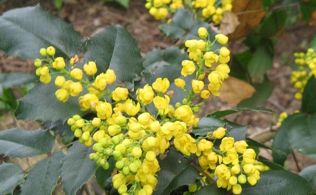 <b>Gewöhnliche Mahonie - <i>Mahonia aquifolium</i></b>
