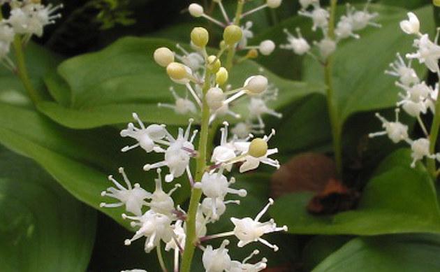 <b>Schattenblümchen - <i>Maianthemum bifolium</i></b>