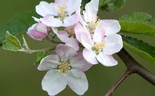 Garten-Apfel - Malus domestica