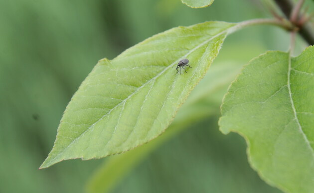 <b>Garten-Apfel - <i>Malus domestica</i></b>