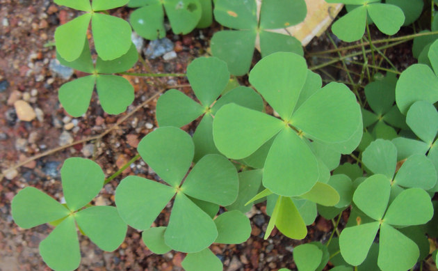 <b>Kleefarn - <i>Marsilea quadrifolia</i></b>