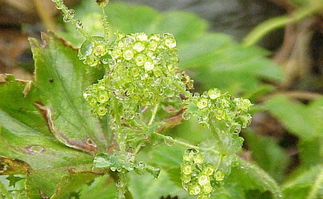 <b>Fächer-Frauenmantel - <i>Alchemilla flabellata</i></b>