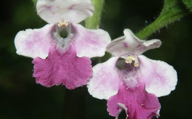 <b>Immenblatt - <i>Melittis melissophyllum</i></b>