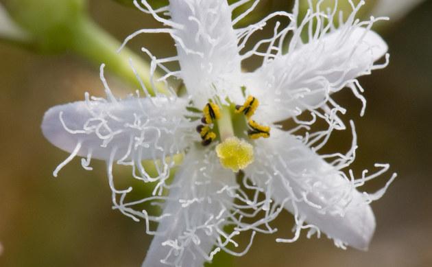 <b>Fieberklee - <i>Menyanthes trifoliata</i></b>