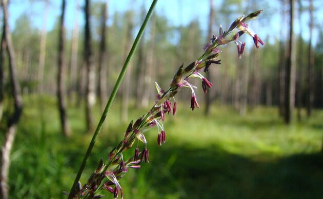 <b>Rohr-Pfeifengras - <i>Molinia arundinacea</i></b>