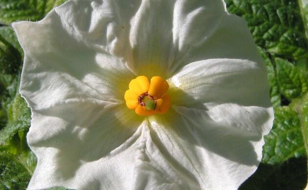 <b>Kartoffel - <i>Solanum tuberosum</i></b>