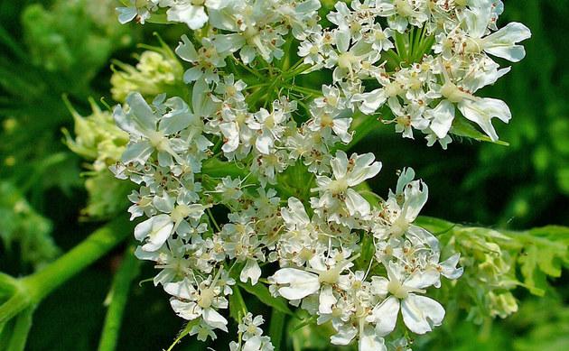 <b>Süßdolde - <i>Myrrhis odorata</i></b>