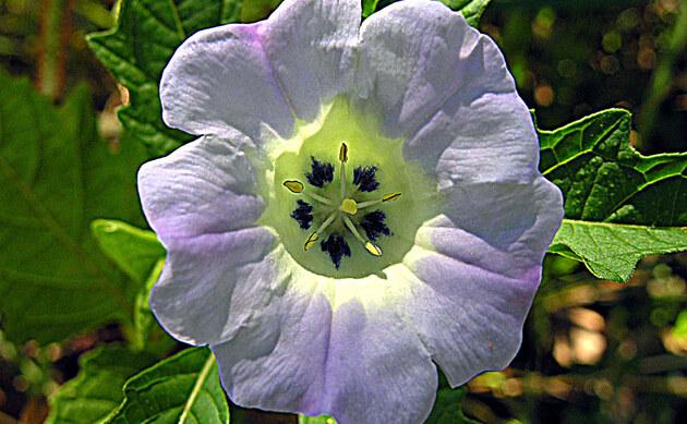 <b>Giftbeere - <i>Nicandra physalodes</i></b>
