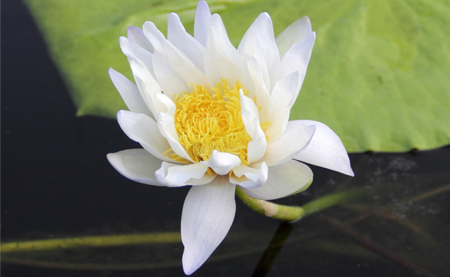 <b>Glänzende Seerose - <i>Nymphaea candida</i></b>