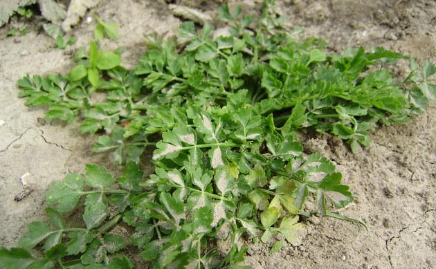 <b>Haarstrangblättriger Wasserfenchel - <i>Oenanthe peucedanifolia</i></b>