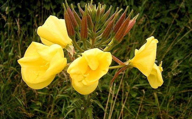 <b>Rotkelchige Nachtkerze - <i>Oenothera glazioviana</i></b>