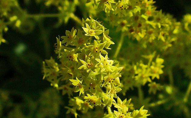 <b>Weicher Frauenmantel - <i>Alchemilla mollis</i></b>