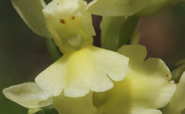 <b>Blasses Knabenkraut - <i>Orchis pallens</i></b>