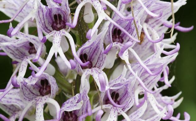 <b>Affen-Knabenkraut - <i>Orchis simia</i></b>
