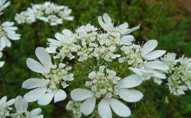 <b>Großer Breitsame - <i>Orlaya grandiflora</i></b>