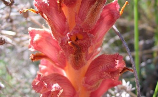 <b>Ginster-Sommerwurz - <i>Orobanche rapum-genistae</i></b>