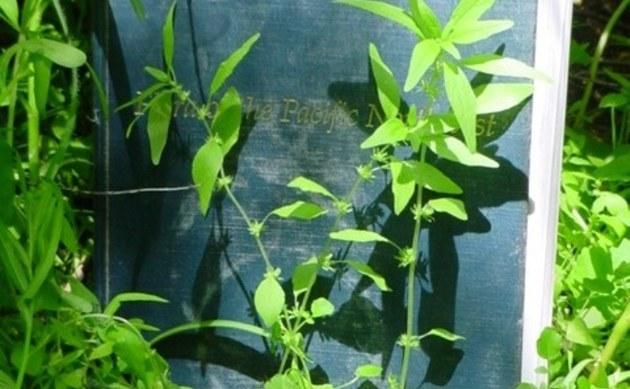 <b>Pennsylvanisches Glaskraut - <i>Parietaria pensylvanica</i></b>