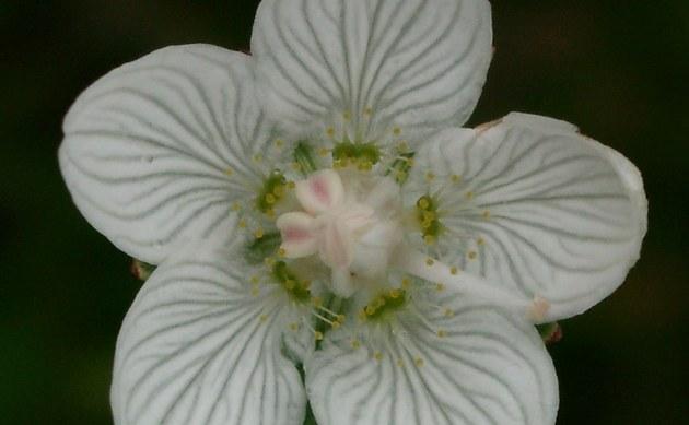 <b>Sumpf-Herzblatt - <i>Parnassia palustris</i></b>