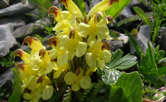 <b>Buntes Läusekraut - <i>Pedicularis oederi</i></b>