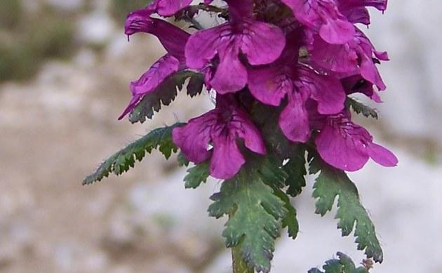 <b>Quirlblättriges Läusekraut - <i>Pedicularis verticillata</i></b>