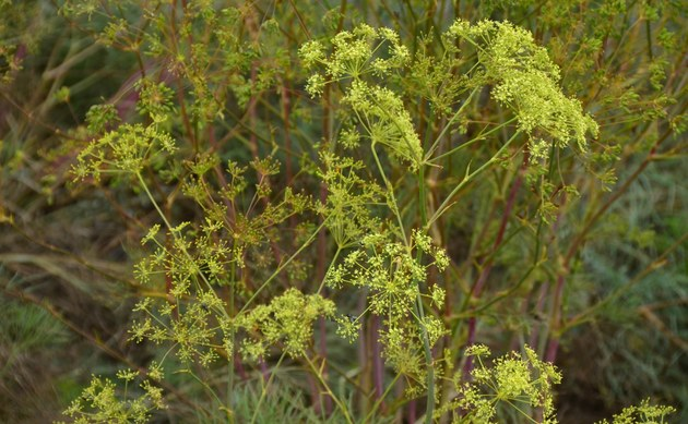 <b>Arznei-Haarstrang - <i>Peucedanum officinale</i></b>
