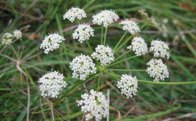 <b>Berg-Haarstrang - <i>Peucedanum oreoselinum</i></b>