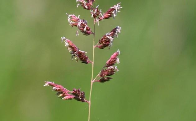 <b>Rohr-Glanzgras - <i>Phalaris arundinacea</i></b>