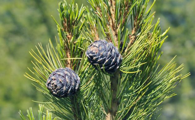 <b>Zirbel-Kiefer - <i>Pinus cembra</i></b>