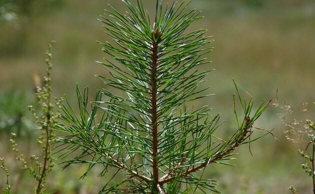 <b>Wald-Kiefer - <i>Pinus sylvestris</i></b>