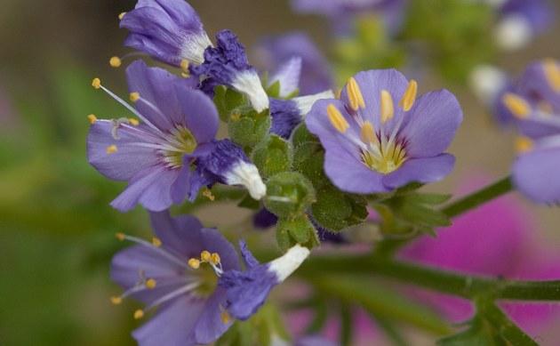<b>Blaue Himmelsleiter - <i>Polemonium caeruleum</i></b>