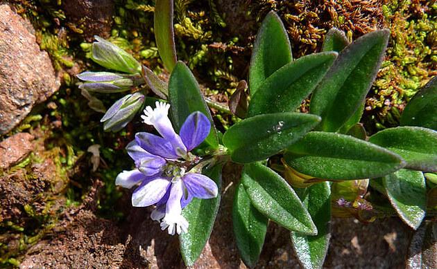 <b>Quendelblättriges Kreuzblümchen - <i>Polygala serpyllifolia</i></b>
