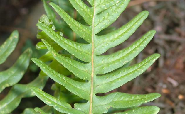 <b>Gewöhnlicher Tüpfelfarn - <i>Polypodium vulgare</i></b>