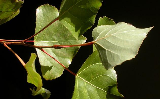 <b>Schwarz-Pappel - <i>Populus nigra</i></b>