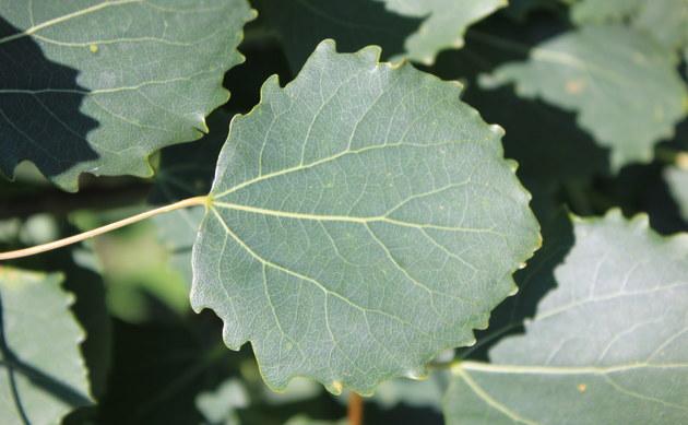 <b>Zitter-Pappel - <i>Populus tremula</i></b>