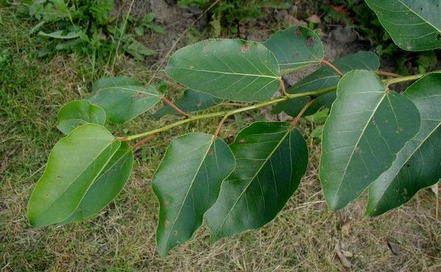 <b>Haarfrüchtige Balsam-Pappel - <i>Populus trichocarpa</i></b>