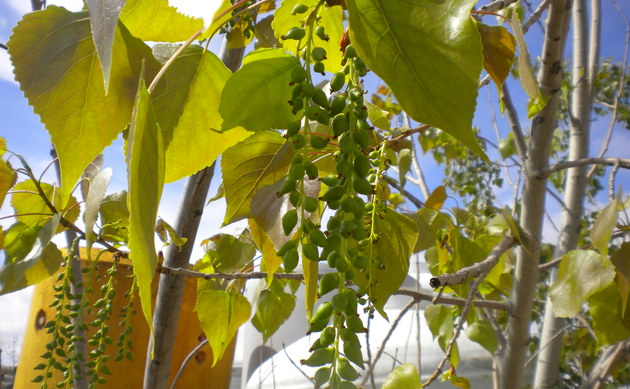 <b>Kanadische Pappel - <i>Populus x canadensis</i></b>